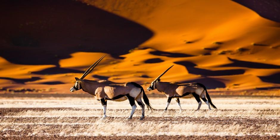 Oryx devant les dunes
